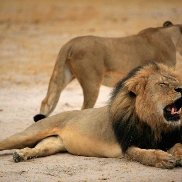 Toter Löwe vs. toter Schwarzer: Was ist schlimmer? (Foto)