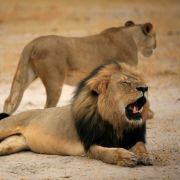 Der Löwe Cecil vor seinem Tod durch den US-Zahnarzt Walter Palmer.