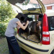 Da steht'n Pferd im Kofferraum (Foto)
