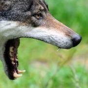 Mann behauptet: Wölfe töteten Hund beim Spaziergang (Foto)