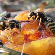 Superjahr für Wespen (Foto)
