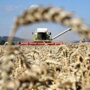 Hitze und Trockenheit schmälern Getreideernte (Foto)
