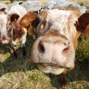 Rindertuberkulose in Belgien: 167 Betriebe teilweise gesperrt (Foto)