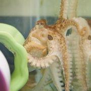 Zugewandt mit verschlungenen Armen: Kraken-Sex überrascht Forscher (Foto)