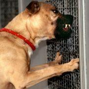 Brutaler Kampfhund-Angriff - Tier gnadenlos abgeknallt! (Foto)