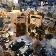 Japaner haben Kugelfisch zum Sterben gern (Foto)