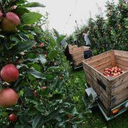 Äpfel dürften teurer werden (Foto)