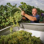 Auftakt für Weinlese - gute Qualität erwartet (Foto)