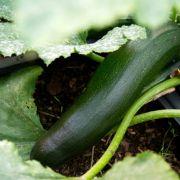 Selbstangebautes Gemüse tötet 79-Jährigen (Foto)