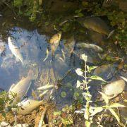 Gefährliches Ammoniumnitrat löst Fischsterben im Neckar aus (Foto)