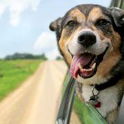 Entlaufener Hund trampt mit dem Auto (Foto)