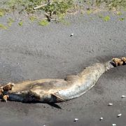 Wieso sterben so viele Wale vor Alaskas Küste? (Foto)