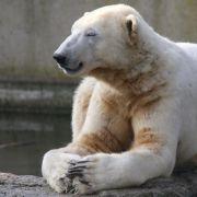 Eisbär Knut litt an Autoimmunerkrankung (Foto)