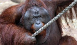 Orang Utan bei Ausbruch aus Zoo erschossen (Foto)