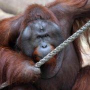 Duisburger Zoo trauert um erschossenen Orang-Utan (Foto)
