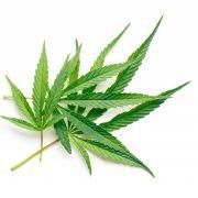Einstiegsdroge Marihuana.