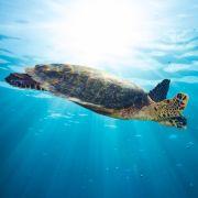 Älteste fossile Meeresschildkröte entdeckt (Foto)