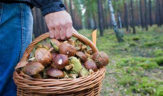 Pilze-Sammler kommen im September und Oktober ganz auf ihre Kosten. (Foto)