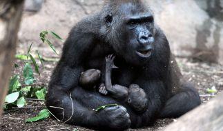 Gorilla-Dame Dian hält im Gehege des Zoos in Frankfurt am Main (Hessen) ihre beiden Zwillings-Babys fest im Arm. (Foto)