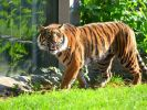 Einer der beiden Sumatra-Tiger im Breslauer Zoo hat bei Reinigungsarbeiten einen Tierpfleger zerfleischt. (Foto)
