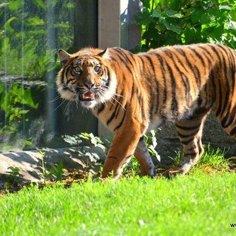 Sumatra-Tiger zerfleischt Tierpfleger - tot! (Foto)