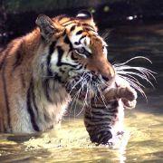 Tigermutter ertränkt ihre eigenen Babys (Foto)