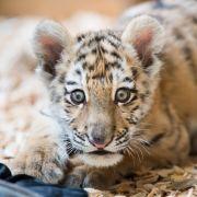 Tigerbaby vor Tierarzt-Praxis ausgesetzt (Foto)