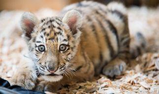 Mitten in Berlin ist ein Tigerbaby ausgesetzt worden. (Foto)