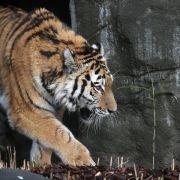 Betrunkener spaziert durchs Tigergehege (Foto)