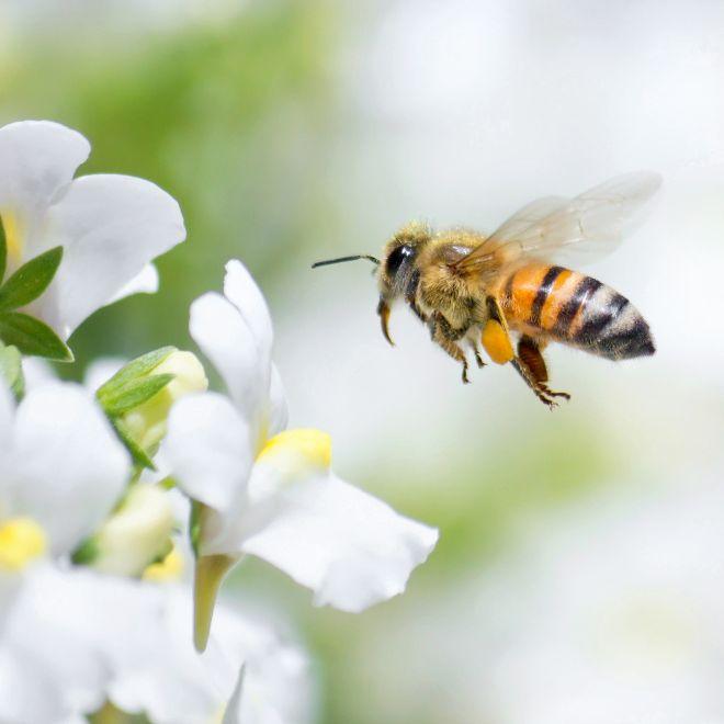 Mann lässt sich von Bienen in den Penis stechen (Foto)