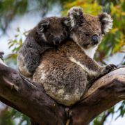 Australien tötet die putzigen Beuteltiere! (Foto)