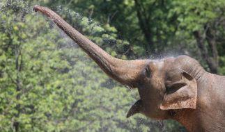 Elefanten haben den Längsten. (Foto)