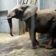 Elefantenkuh Bibi trampelt Baby tot (Foto)