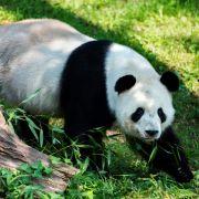 Brüder töteten und aßen wehrlosen Pandabären (Foto)