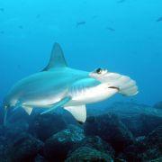 Kajak-Fahrer vermöbelt Riesen-Hammerhai! (Foto)