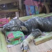 Büffelkalb mit Krokodilskopf? (Foto)
