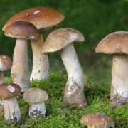 Giftige Steinpilze bei Kaufland! Vorsicht beim Kauf dieser Pilze (Foto)
