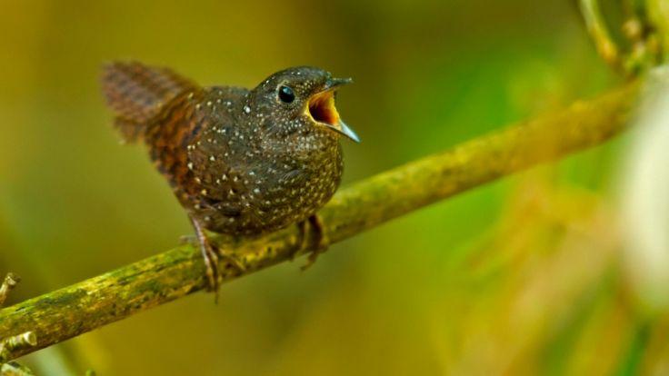 Die Fleckenbrust-Zaunkönigstimalie ist nur zehn Zentimeter klein und gehört somit zu den Miniatur-Singvögeln. (Foto)