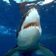Kurios! Hai-Attacke rettet Mann das Leben (Foto)