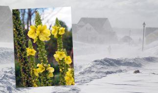 """Laut Blütenstand der Königskerze steht uns ein """"Jahrtausendwinter"""" bevor. (Foto)"""
