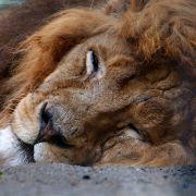 Jäger von Löwe Cecil bleibt auf freiem Fuß (Foto)