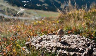 "Der Spitzkegelige Kahlkopf gehört zu den ""Magic Mushrooms"". (Foto)"