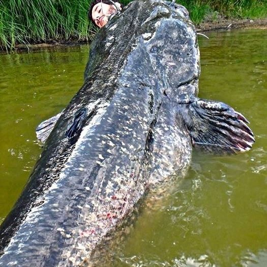 Fischer zieht gleich zwei Monster-Fische an Land (Foto)