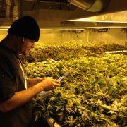 Direktorin entdeckt Hanfplantage in Schule (Foto)