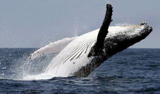Vor der Westküste Kanadas ist ein Walbeobachtungsboot mit 27 Menschen an Bord gesunken. (Foto)
