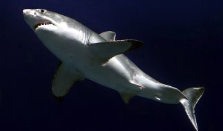 An der Küste von San Francisco sind Haie keine Seltenheit. (Foto)