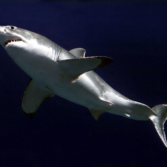 Hai-Invasion vor San Francisco: 20 Raubtiere gesichtet! (Foto)