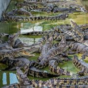 Tausenden Krokodilen droht der Hungertod (Foto)