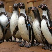 Pinguin-Massaker im Zoo von Melbourne (Foto)
