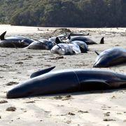 Fast 30 Grindwale vor der Küste verendet (Foto)